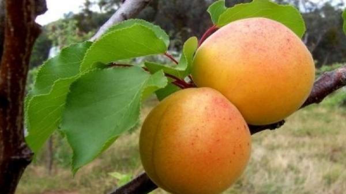 Las propiedades del albaricoque: beneficios para tu salud