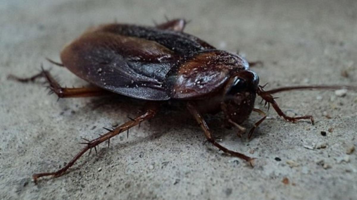 Como eliminar cucarachas y que no vuelvan a aparecer