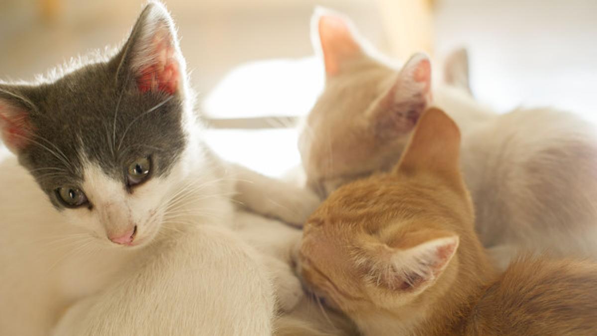 Blancos, negros, atigrados, manchados… ¿De que depende el color de los gatos?