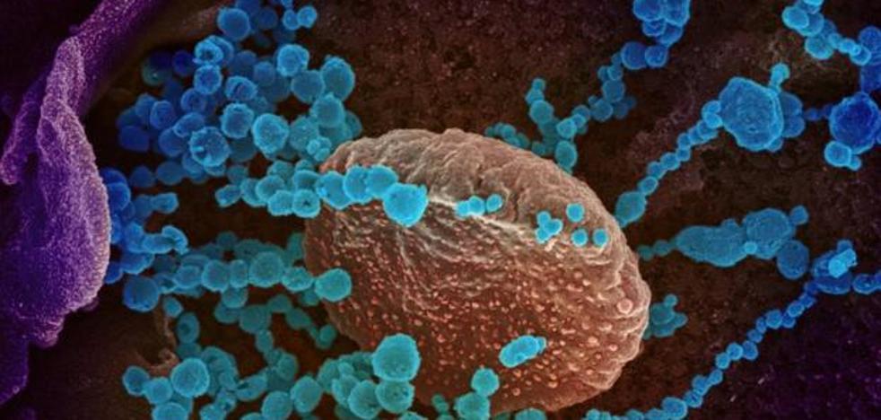 Los anticuerpos producidos por un resfriado comun podrian servir contra la Covid-19