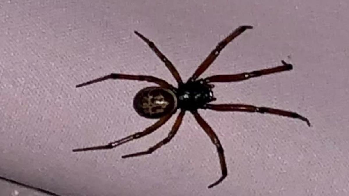 Picaduras de arañas, como identificarlas y actuar