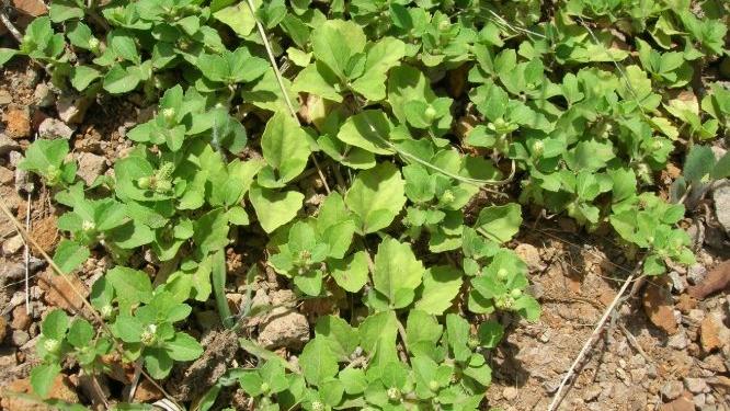 Tapekue: una planta medicinal que podria tratar el cancer de mama