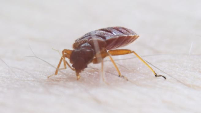 Chinches de cama, la tercera plaga mas comun en España tras termitas y cucarachas