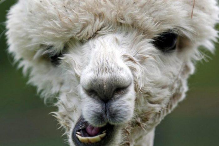 Los nanoanticuerpos de las alpacas pueden bloquear el coronavirus en humanos