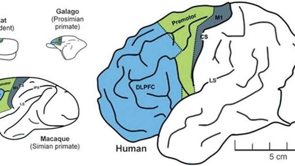 Comparacion del cerebro de rata, galago, macaco y humano. En azul, la corteza prefrontal.