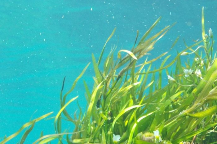 Las algas marinas pueden proveer antivirales contra la COVID-19