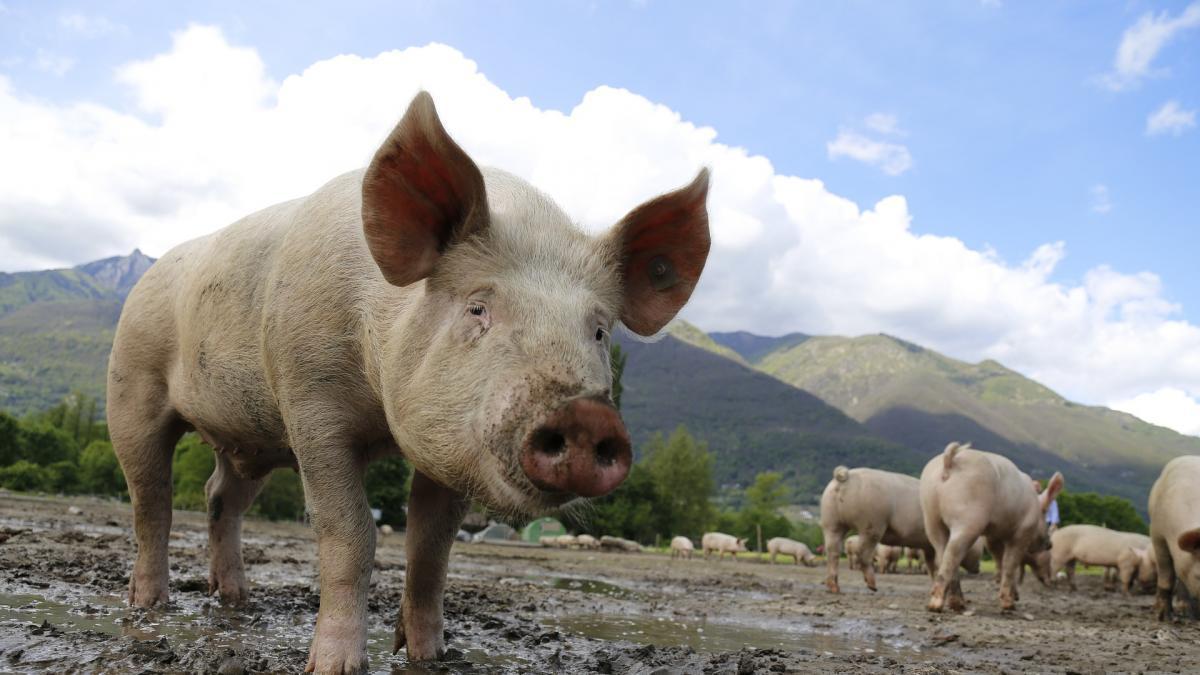 Alertan de una nueva cepa de coronavirus en cerdos con potencial para infectar a humanos