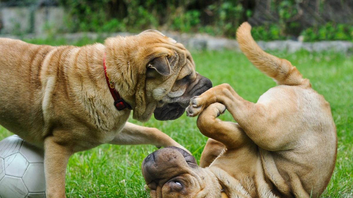 Consejos para sumar con exito un segundo perro a la familia