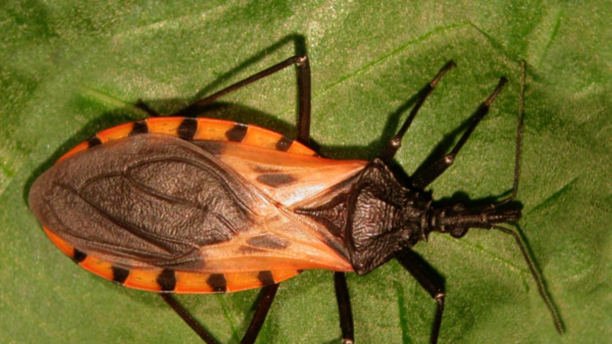 Hasta 90.000 personas en España tienen la enfermedad de Chagas, curable pero peligrosa si no se detecta a tiempo