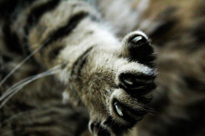 Por que debemos vigilar las uñas de los gatos y como cortarlas correctamente