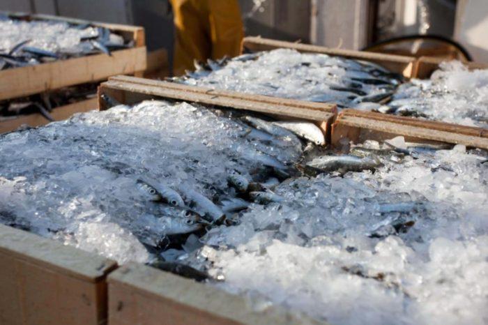 Que pescados hay que congelar antes de consumir y cuales no hace falta