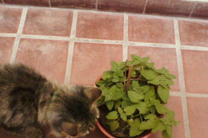 Descubren el motivo por el que a los gatos les vuelve locos la hierba gatera