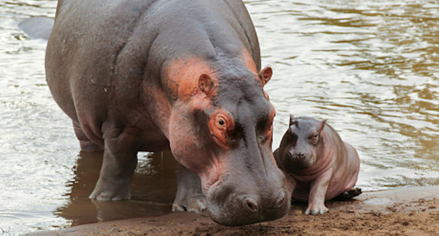 Hipopotamos que trajo Pablo Escobar si deben ser sacrificados, insisten cientificos