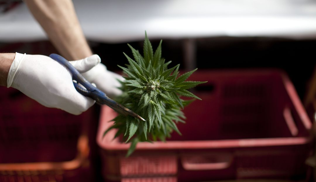 Gobierno busca reglamentar la exportacion de flor seca de cannabis
