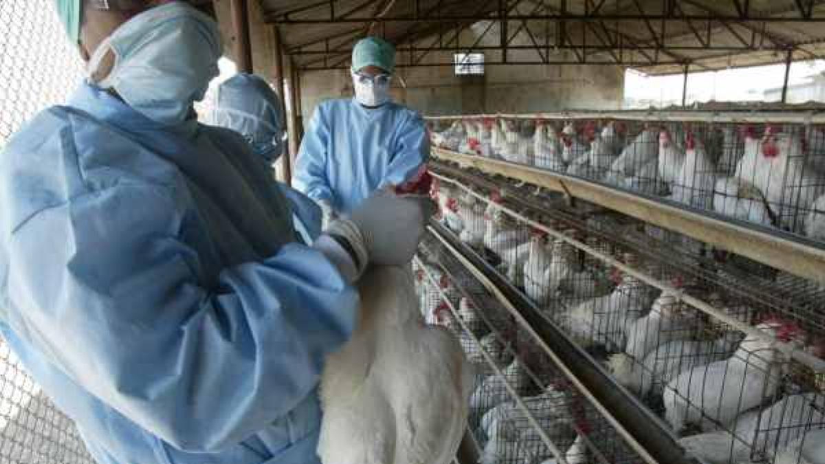 Gripe aviar H5N8: ¿existe riesgo para los seres humanos?