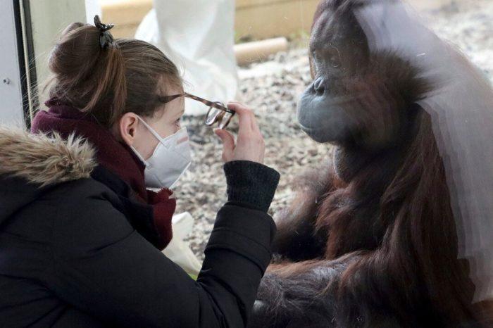Algunos zoologicos estan vacunando a sus animales contra el COVID-19