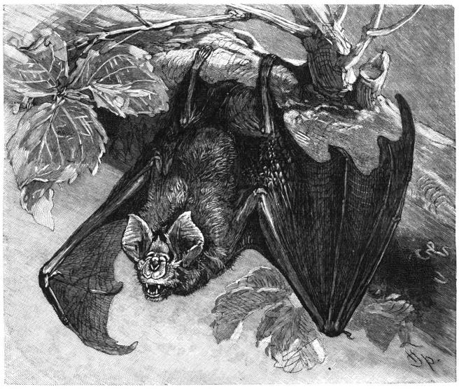 Ilustracion de principios del siglo XX de un murcielago de herradura, sospechoso de ser el reservorio del virus.