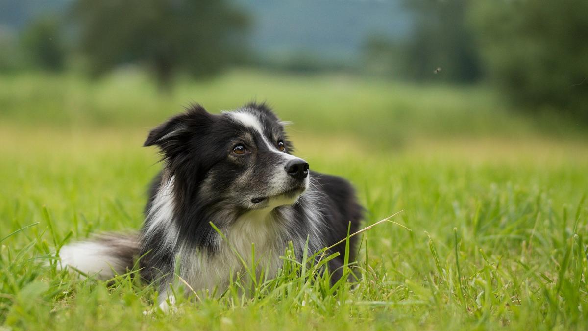 Filariosis canina, que sintomas provoca y como prevenirla y tratarla