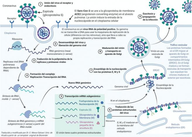 Esquema del ciclo de replicacion del SARS-CoV-2. El primer paso es la entrada en la celula, gracias al reconocimiento de una proteina receptora por la espicula. El segundo paso es la utilizacion de la maquinaria celular para fabricar los ARN mensajeros, las proteinas y las copias del ARN genomico. Despues, tiene lugar el ensamblaje de los nuevos virus y la salida de estos de la celula infectada.