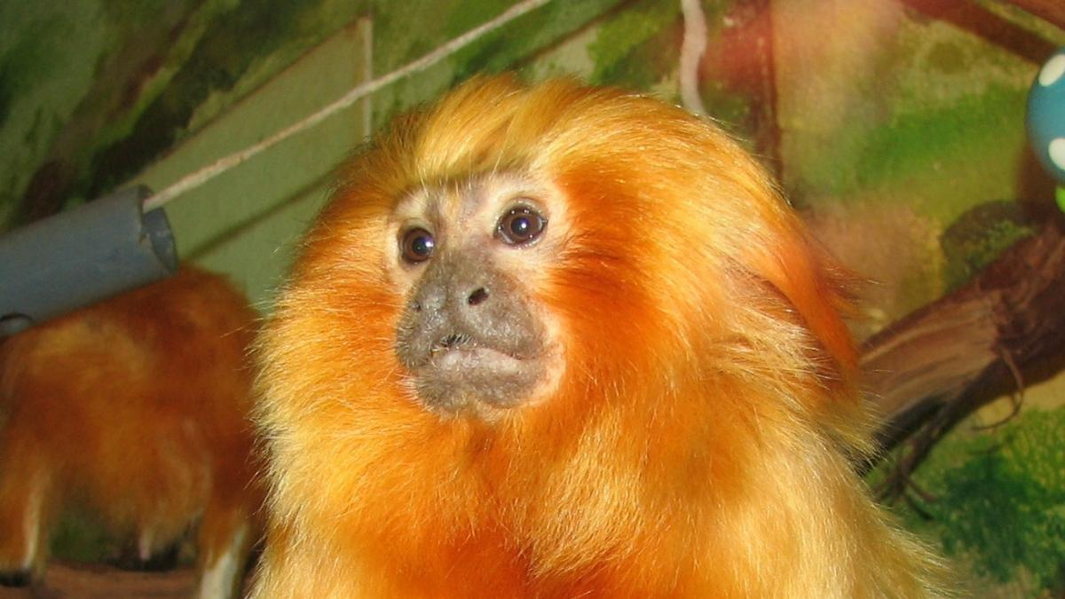 Vacunar a los monos: la estrategia de cientificos en Brasil para evitar otra posible pandemia