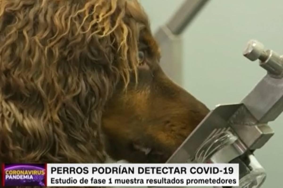 Perros pueden olfatear infecciones por COVID-19 con un 94 por ciento de efectividad
