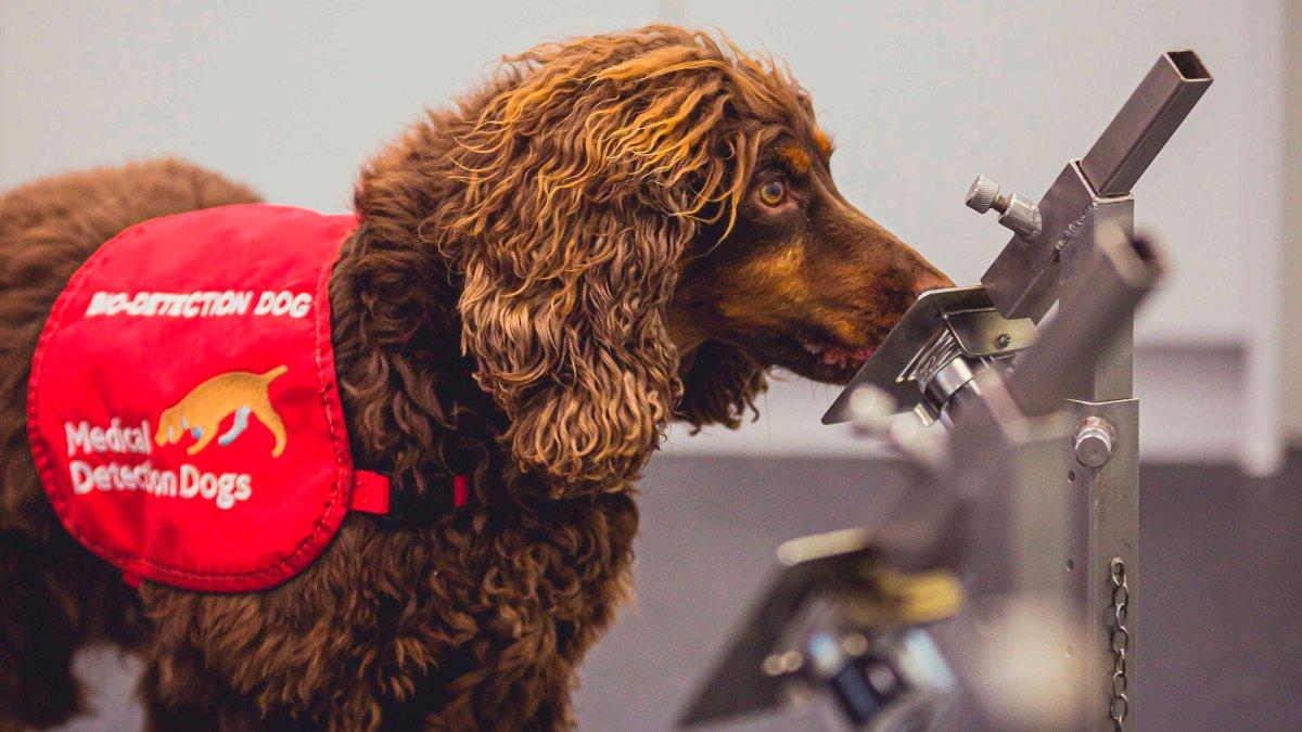 Video: los perros que detectan el COVID-19 en humanos con una efectividad del 94%