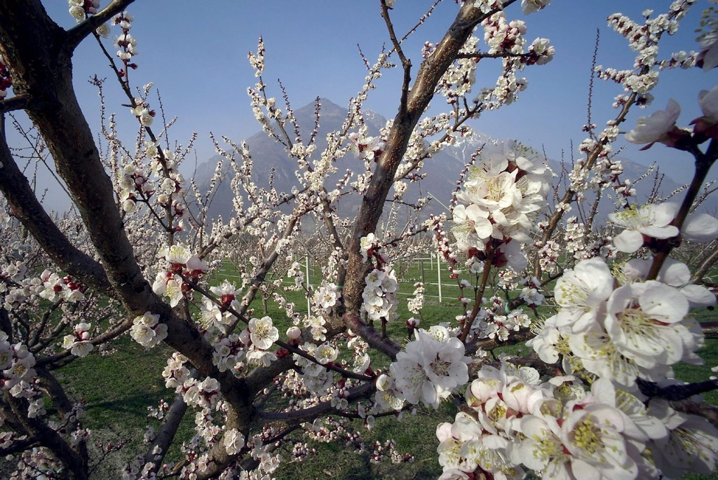 Las semillas del albaricoque contienen cianuro, una sustancia tóxica