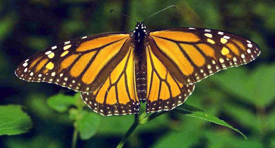 Colombia, pais con mas especies de mariposas del mundo, con 20% de las variedades que hay