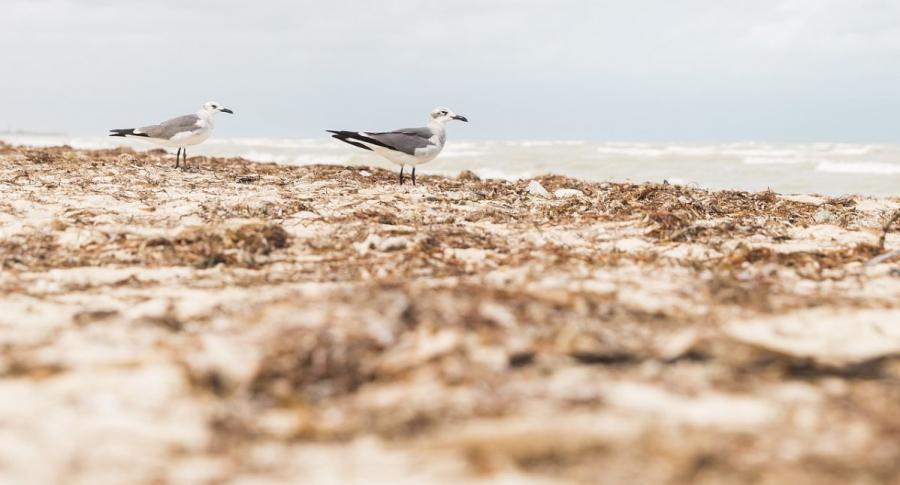 Secretos del sargazo: una alga que afecta al medio ambiente en playas del Caribe