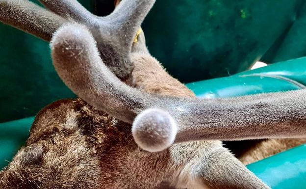 La osteoporosis de los ciervos ayudará a tratar la humana