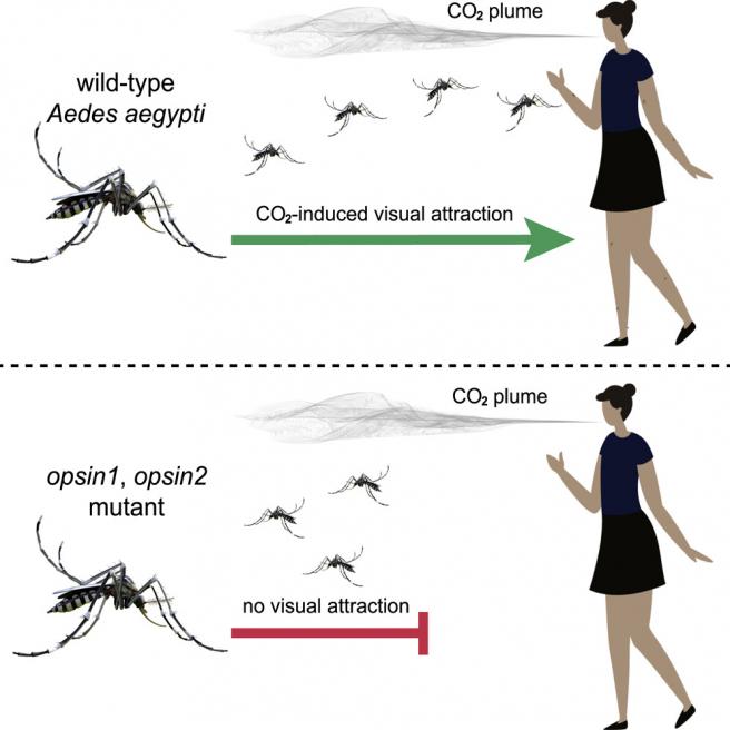 Gráfico que muestra el efecto de la eliminación de Op1 y Op2 en los mosquitos Aedes aegypti.