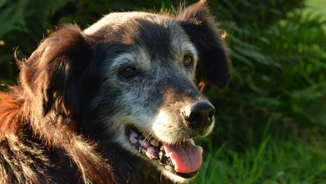 Dependiendo del tamaño, un perro puede considerarse anciano a partir de los 7 o de los 10 años, aproximadamente.
